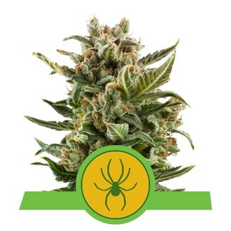 White Widow Automatic (Royal Queen Seeds) féminisée