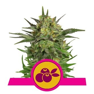 Haze Berry (Royal Queen Seeds) féminisée