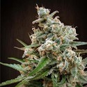 Nepal Jam (ACE Seeds) Féminisée