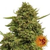 Pineapple Chunk (Barney's Farm) féminisée