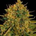 Northern Light x Big Bud Ryder (World Of Seeds) féminisée