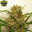 Ripper Haze (Ripper Seeds) féminisée