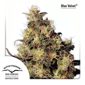 Blue Velvet (Dutch Passion) féminisée