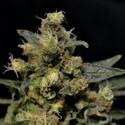A-K (CBD Seeds) féminisée