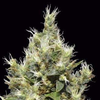 Northern (CBD Seeds) féminisée