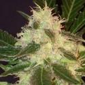 Widow (CBD Seeds) féminisée