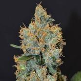 Lavender (CBD Seeds) féminisée