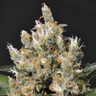 Kali (CBD Seeds) féminisée