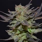 Auto Lavender (CBD Seeds) féminisée