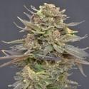 Magma (CBD Seeds) féminisée