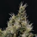 Vanilla Haze (CBD Seeds) féminisée