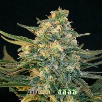 Guanabana (Blimburn Seeds) féminisée