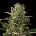 Santa Muerte (Blimburn Seeds) féminisée