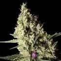 Narkosis (Blimburn Seeds) féminisée