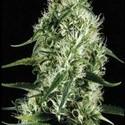 Silver Surfer Haze (Blimburn Seeds) féminisée