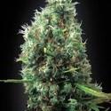 Tijuana (Blimburn Seeds) féminisée