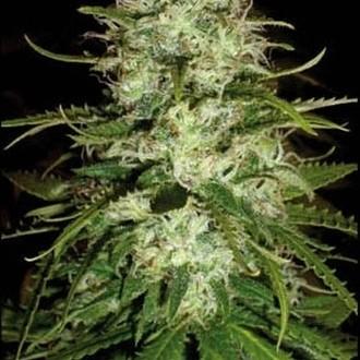 Cr+ (Blimburn Seeds) féminisée