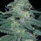 BCN Diesel (Blimburn Seeds) féminisée