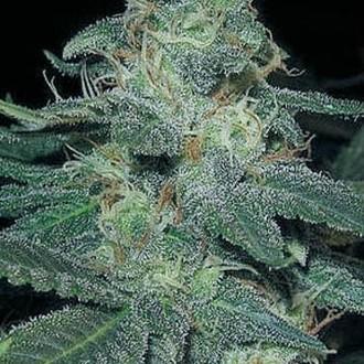 BC Diesel (Blimburn Seeds) féminisée