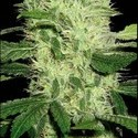 Dama Blanca (Blimburn Seeds) féminisée