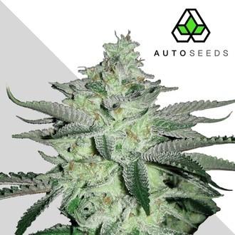 Diesel Berry (Auto Seeds) féminisée