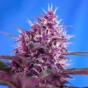 Red Poison Auto (Sweet Seeds) féminisée