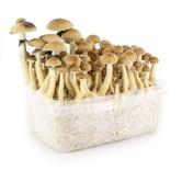 """100% Mycelium Kit """"B+"""" (Supa Gro)"""