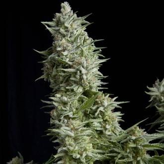 Alpujarreña (Pyramid Seeds) féminisée