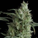 Kryptonite (Pyramid Seeds) féminisée