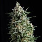 Anesthesia (Pyramid Seeds) femminizzata