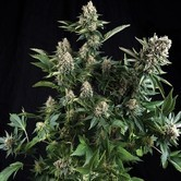White Widow (Pyramid Seeds) feminisiert