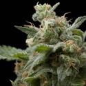 Super Hash (Pyramid Seeds) féminisée