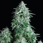 Anubis (Pyramid Seeds) féminisée