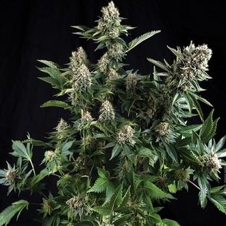 Auto White Widow (Pyramid Seeds) féminisée