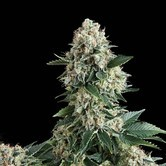 Auto New York City (Pyramid Seeds) feminisiert
