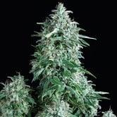 Auto Anubis (Pyramid Seeds) féminisée