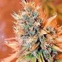 Blue Medi Kush (Spliff Seeds) féminisée