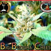 Big Buddha Cheese (Big Buddha Seeds) féminisée