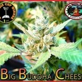 Big Buddha Cheese (Big Buddha Seeds) femminizzato