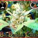 Big Buddha Cheese (Big Buddha Seeds) féminisée