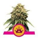 Special Queen 1 (Royal Queen Seeds) féminisée
