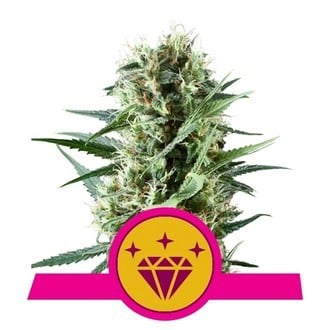 Special Kush 1 (Royal Queen Seeds) féminisée