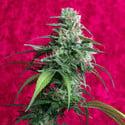 Juanita La Lagrimosa (Reggae Seeds) féminisée