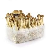 Kit 100% Mycelium 'Cambodian' (Supa Gro)
