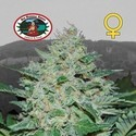 Freeze Cheese ´89 (Big Buddha Seeds) féminisée