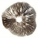 Empreinte de spores Psilocybe Cubensis Mestizo