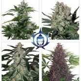 Assorted Auto (Buddha Seeds) feminisiert