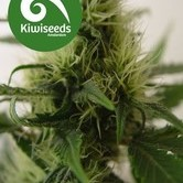 Daddy's Girl (Kiwi Seeds) féminisée