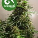 Kiwiskunk (Kiwi Seeds) féminisée