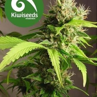 Mako Haze (Kiwi Seeds) féminisée